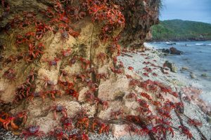 red crabs on cliff christmas island