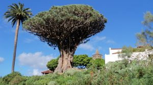 Dragon Tree, Tenerife